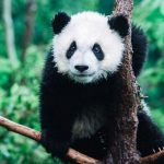 День Люди События.11 марта.Французский натуралист получил в подарок шкуру животного – панды