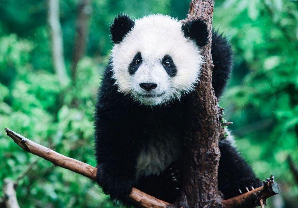 День Люди События.11 марта.Французский натуралист получил в подарок шкуру животного - панды